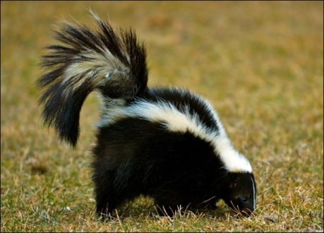 skunk-picture[1]